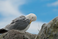 Seagull Portrait. A close up portrait of a Seagull perched on a rock Royalty Free Stock Photos