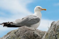 Seagull Portrait. A close up portrait of a Seagull perched on a rock Stock Photography