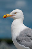 Seagull Portrait. A close up portrait of a Seagull perched on a rock Stock Image
