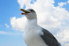Seagull portrait Royalty Free Stock Photos
