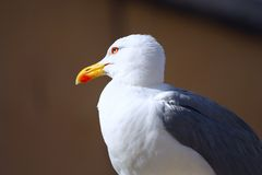 Free Seagull Portrait Stock Photo - 9668540
