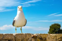 Seagull portrait against a blue sky. In sun Royalty Free Stock Image