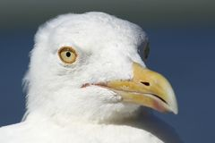 Seagull Portrait - Bright, Yellow Eyes stock images