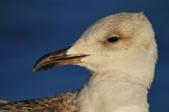 Seagull Portrait. Closeup of seagull face.  Blue background. Beak is pointing to the left Stock Images