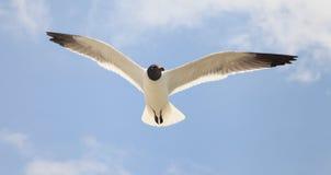 Seagull Portrait. Closeup of Seagull in flight Stock Photo