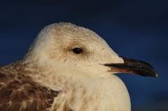 Seagull Portrait. Closeup of seagull's face against blue background Royalty Free Stock Photo