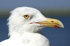 Seagull Portrait - Glaring Eyes - Suspicious, Cynical or Flirtatious. A close up profile of a white seagull with yellow eyes and beak. He looks like a serious stock photo