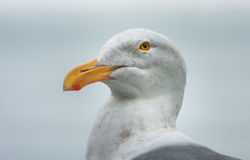 Seagull Portrait. Head and neck portrait of a seagull against a background of grey fog Royalty Free Stock Photo