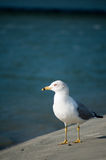 Seagull Portrait by the Inlet Royalty Free Stock Images