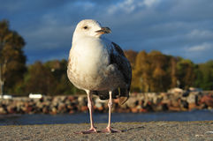 Seagull Portrait. Low angle shot of seagull on a pier.  Blurry background with trees and a glimpse of blue water Stock Image