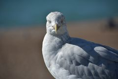 Portrait Seagull resting and looking into the camera stock photography