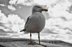 Seagull. A portrait of a Seagull sitting on a wall Royalty Free Stock Image