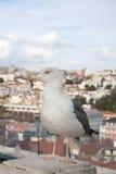 Seagull portrait Stock Photography