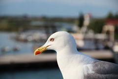 Seagull portrait Royalty Free Stock Image