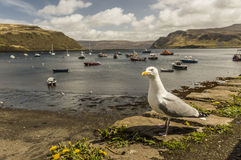 Seagull in Portree Harbour Stock Image