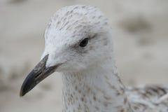 Seagull portret Obrazy Stock