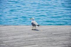 Seagull portret przeciw Mediterranian morzu na tle Obrazy Royalty Free