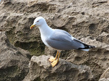 Seagull in Portugal Royalty Free Stock Photos