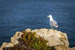 Seagull in the Portuguese Coast. Seagull in a rock in the Portuguese Coast, near Peniche Stock Photography