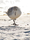 Seagull pose stock image