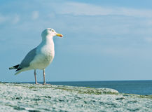 A seagull poses, looking out to sea. Stock Photography
