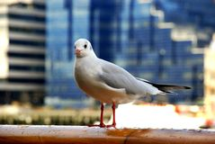Seagull posing Royalty Free Stock Photography