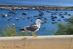 Seagull posing. In a harbour Royalty Free Stock Photo