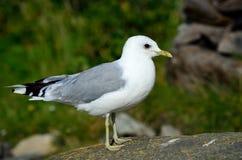 Seagull posing on big seashore boulder Royalty Free Stock Photos