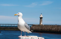 Seagull. Posing for a photo stock photography