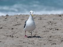Seagull at the beach in Malibu, California. Seagull posing for a portrait at the beach in Malibu, California Royalty Free Stock Photography