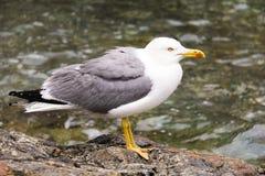 Seagull Posing Royalty Free Stock Photo