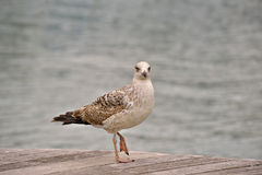 Seagull posing on wooden pavement Royalty Free Stock Photo