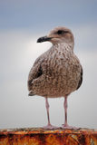 Seagull on post. Seagull sitting on a post watching away royalty free stock photography