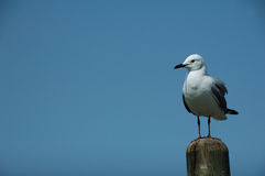 Seagull on a post Royalty Free Stock Photography