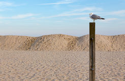 Seagull on a Post at the Beach. A seagull perched on a wooden post at a New Jersey beach Royalty Free Stock Images