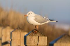 Seagull On Post Stock Photo