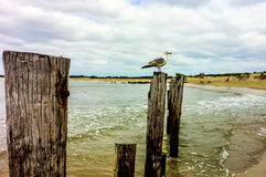 Seagull on post at New Jersey Shore Royalty Free Stock Image