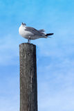 Seagull On Post Portrait. Gray and White Seagull Standing Atop a Gray Bird Fecal Stained Wooden Post Royalty Free Stock Photography