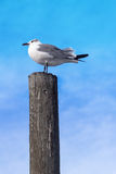 Seagull On Post Profile. Gray and White Seagull Standing Atop a Gray Bird Fecal Stained Wooden Post Royalty Free Stock Photo