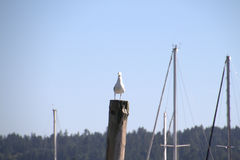 Seagull on post. With sail mast in background stock images