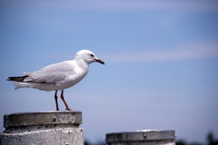 Seagull on post Royalty Free Stock Photos