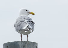 Seagull on post Stock Image
