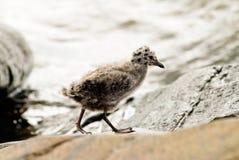 seagull potomstwa Zdjęcia Royalty Free