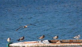Seagull powrót obraz stock