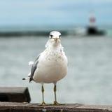 seagull pozycja Zdjęcia Stock
