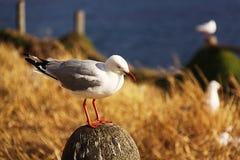 Seagull pozycja Zdjęcie Royalty Free