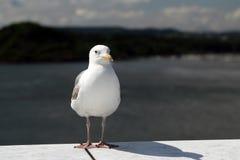 Seagull pozycja Obraz Royalty Free