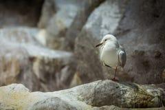 Seagull pozycja Obraz Stock