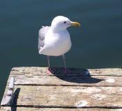 Seagull pozycja na doku Zdjęcia Royalty Free