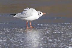 Seagull pozycja na lodzie Zdjęcia Royalty Free